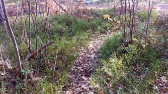 Lingon- och blåbärsris kantar skogsstigen