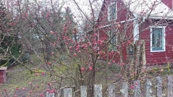 Kejsarolvonen vid Birre börjar blomma