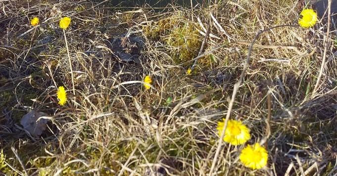 På sidorna av dammarna trivs tussilago