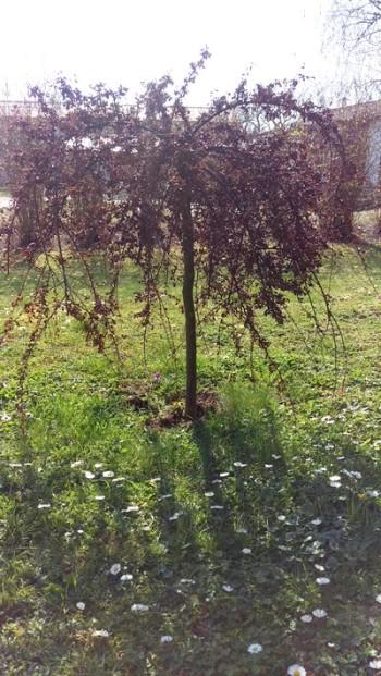 Cotoneastern klarade inte vintern
