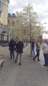 Magnoliorna blommar