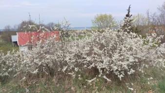 Tynnet (slånbärssnåren) blommar 1 maj