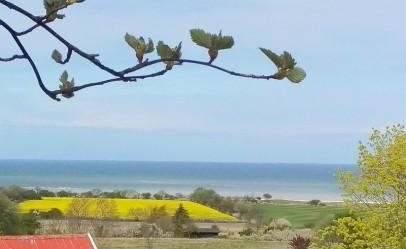 Nu lyser oljeväxtfälten gula på Gotland också