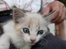 En lite siciliansk kattunge
