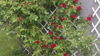 Rosorna börjar blomma
