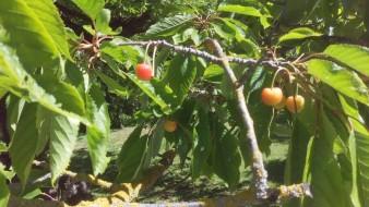 Körsbären vid Bönders börjar mogna