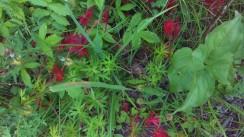 Undrar vad de här röda bladen är för något?
