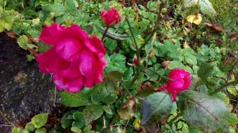 En vacker ros utanför Bachérska huset