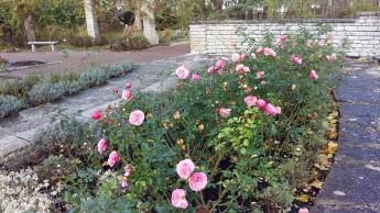 Ännu finns det rosor som blommar