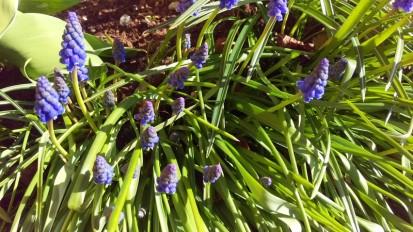 Pärlhyacinterna börjar blomma