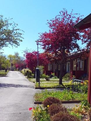 """Paradisäppelträden på """"min"""" gata"""