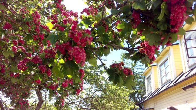Rosenhagtornet på Stenstugu blommar fint nu