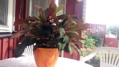 Skvättiväg Euphorbia leuconeura