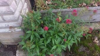 Ännu blommar pipörten