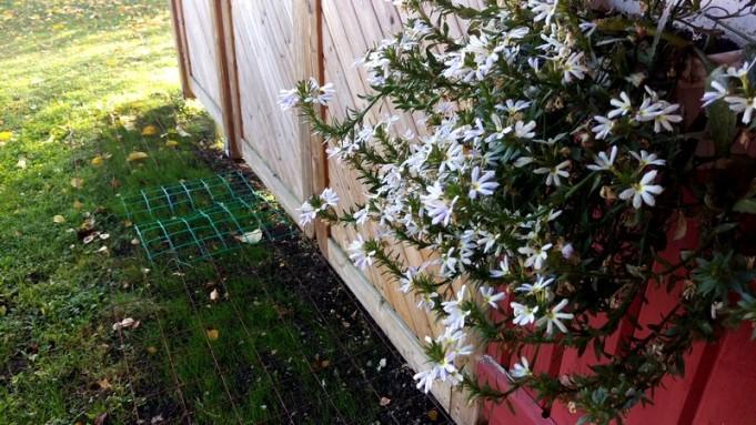 Det enda som ännu blommar på uteplatsen är femtungan. Min nytillsådda rabatt får ännu ha nät på sig för att inte katterna ska använda den som toa
