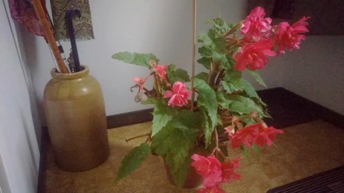 Fråga 3: Är det någon idé att sätta ut begonian igen?